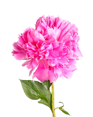 One double flower with water droplets, stem and leaf of a pink peony  Paeonia lactiflora  cultivar isolated against a white background