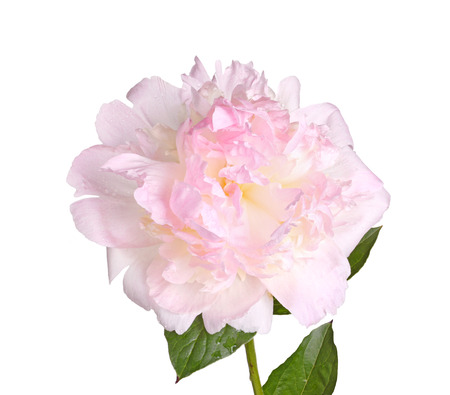 One double flower with water droplets, stem and leaf of pink and white peony  Paeonia lactiflora  cultivar Raspberry Sundae isolated against a white background