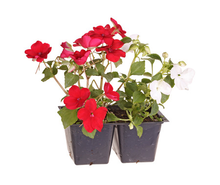 impatiens: Pack containing two seedlings of impatiens plants  Impatiens wallerana  flowering in red and white ready for transplanting into a home garden isolated against a white background