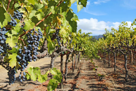 napa: A shallow depth of field highlights ripe, purple wine grapes hanging on the vine at a vineyard in the Napa Valley near Calistoga, California