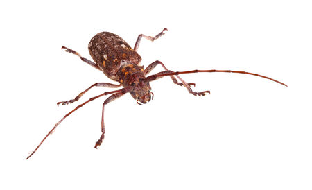 longhorn beetle: Adult of the Carolina pine sawyer, Monochamus carolinensis, a species of longhorn beetle in the Family Cerambycidae, isolated against a white background Stock Photo