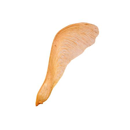 aceraceae: Single samara (seed) of a silver or swamp maple (Acer saccharinum) isolated against a white background
