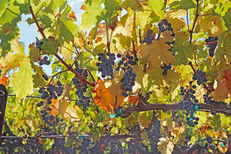 napa: Backlit view of ripe, purple wine grapes hanging on the vine at a vineyard in the Napa Valley near Calistoga, California