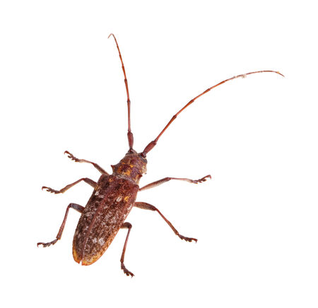 long horn beetle: Adult of the Carolina pine sawyer, Monochamus carolinensis, a species of longhorn beetle in the Family Cerambycidae, isolated against a white background Stock Photo