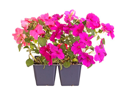 Pack containing two seedlings of impatiens plants (Impatiens wallerana) flowering in purple and pink ready for transplanting into a home garden isolated against a white background photo