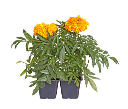 transplanted: Two seedlings of marigolds (Tagetes species) with with orange flowers ready to be transplanted into a home garden isolated against a white background Stock Photo