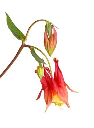 nodding: Stem with a single nodding red and yellow flower of wild (eastern red or Canadian) columbine (Aquilegia canadensis) and developing buds isolated against a white background Stock Photo