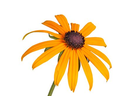 hirta: Single compound yellow and black flower of a brown- or black-eyed Susan (Rudbeckia hirta) isolated against a white background
