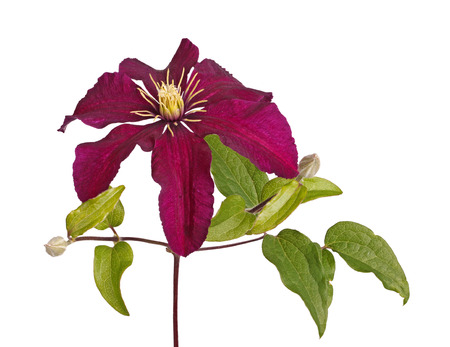 developing: Deep purple flower and developing buds of clematis cultivar Niobe isolated against a white background Stock Photo