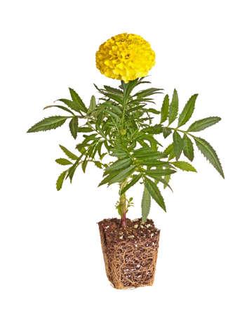 raices de plantas: plántula única de una maravilla (Tagetes especies) con flores amarillas que muestran el cepellón listo para ser trasplantado en un jardín de casa aislada sobre un fondo blanco