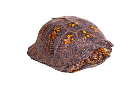 Male eastern box turtle (Terrapene carolina carolina) hiding in its carapace shell isolated against a white background Stockfoto