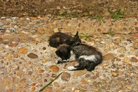 Twee jonge, semi-tamme huiskatten (Felis catus) slapen op een stenen loopbrug in de Andalusische tuinen aan de rand van de oude Kasbah van de Udayas in Rabat, de hoofdstad van Marokko.