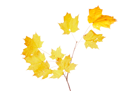 Yellow fall leaves of a sugar maple (Acer saccharum) isolated against a while background Stock Photo