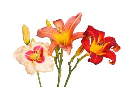 anthers: Three daylily flowers of different cultivars in various colors with unopened buds isolated against a white background Stock Photo
