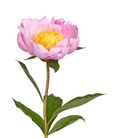 herbaceous: Stem, leaves and flower of a single pink peony with bright yellow stamens isolated against a white background