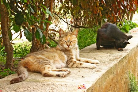 Semi-tame domestic cats (Felis catus) relax on a stone wall in the Andalusian Gardens at the edge of the ancient Kasbah of the Udayas in Rabat, the capital city of Morocco.