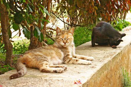Semi-tamme huiskatten (Felis catus) ontspannen op een stenen muur in de Andalusische tuinen aan de rand van de oude Kasbah van de Udayas in Rabat, de hoofdstad van Marokko.