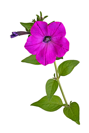 Single stem with a bright-magenta flower and developing bud of petunias (Petunia hybrida) isolated against a white background