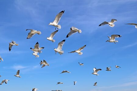 Ring-billed seagulls (Larus delawarensis) in flight against a bright blue sky with white cirrus clouds background