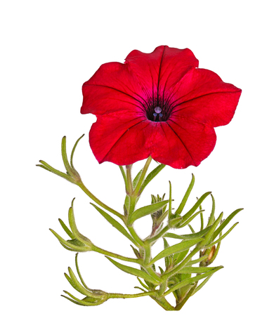 Single stem with a bright-red flower of petunias (Petunia hybrida) isolated against a white background