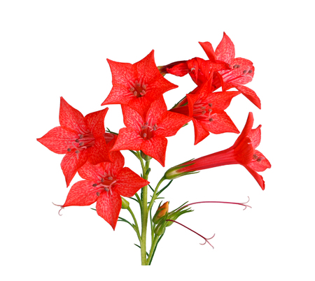 Spray of bright-red flowers of Ipomopsis aggregata cultivar Hummingbird, also called scarlet trumpet, scarlet gilia, or skyrocket, isolated against a white background Stock Photo
