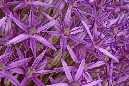 Many purple flowers of the ornamental onion (Allium giganteum) cultivar Globemaster fill the frame Stock Photo