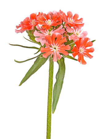 Multiple salmon-colored flowers Maltese cross or rose campion (Lychnis chalcedonica) cultivar Dusky Salmon isolated against a white background
