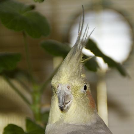 Parrot korella nimfa  Portrait