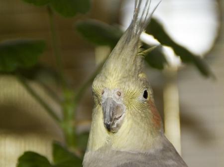 Parrot korella nimfa. Portrait.