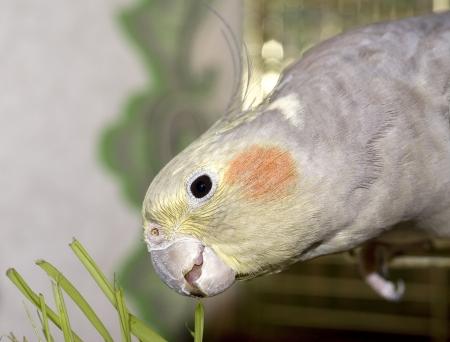Parrot nibbling grass