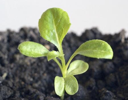 Little green seedling