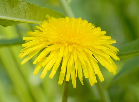 Macro of yellow dandelion in green grass