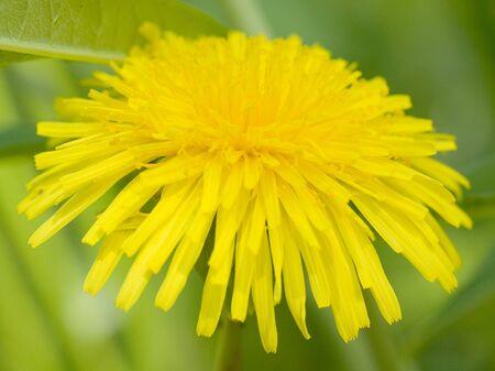 Macro de diente de le�n amarillo