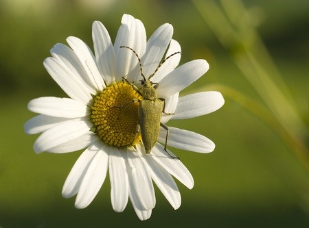 Green beetle on the flower