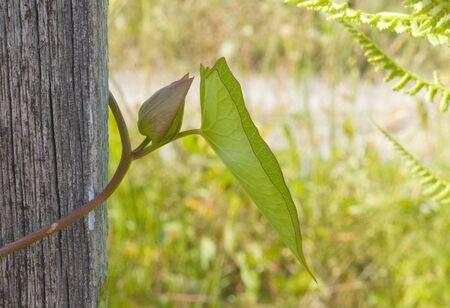 bindweed: The bindweed on the fence