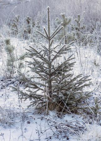 Small fir in winter
