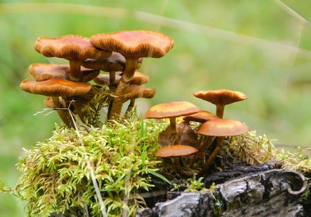 mycelium: Toadstools on mossy stump Stock Photo
