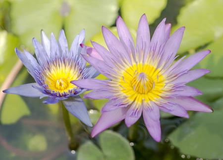 nenuphar: Flowers of nenuphar Stock Photo