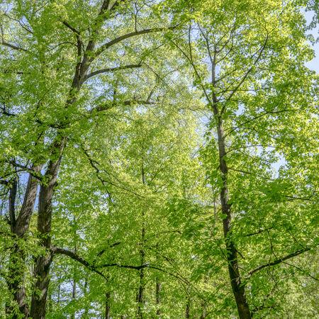 Las hojas de los �lamos en el bosque