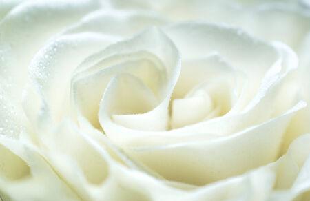 Rosa blanca cerca Foto de archivo