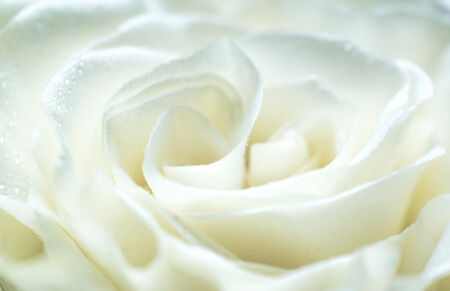 White rose close up