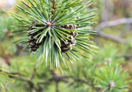 Cono del pino en la rama Foto de archivo