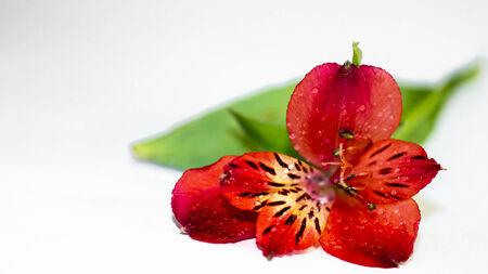 Flor alstroemeria Red