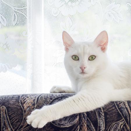 Gato blanco con los ojos bonitos Foto de archivo