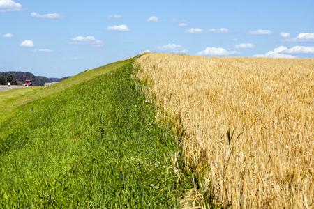 El campo de trigo maduro naturales