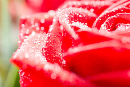 Red rose petals with dew drops Stock Photo