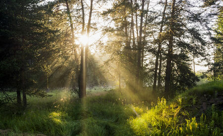 Sun rays in wild forest in summer