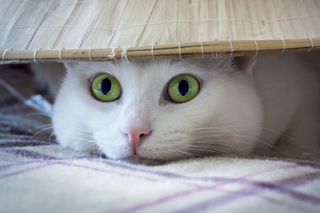 The eyes of white cat