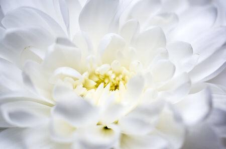 White chrysanthemum macro Stock Photo