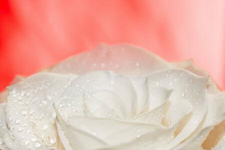 White rose on red